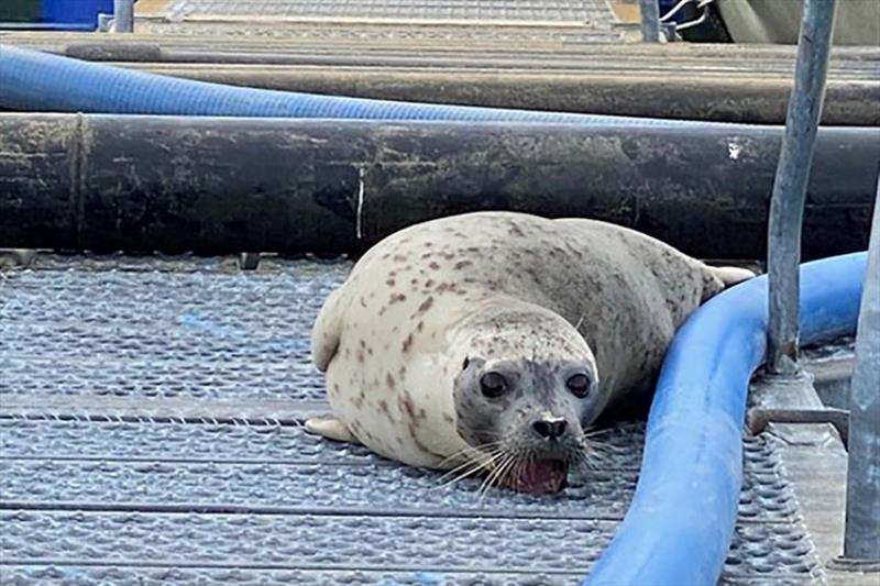 Personnel at the hatchery in Valdez discovered a harbor seal with its teeth stuck in metal grating. photo copyright Rob Unger taken at